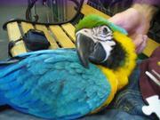 VМы продаем очень дружелюбный синий и золотой попугаев ара.