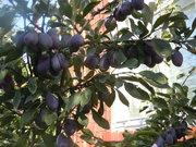 саженцы груши,  сливы,  вишни